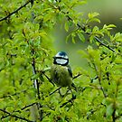 Blue Tit  by jaffa