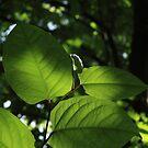 Leaves in the light by Lauren Banks