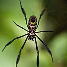 Black-legged Golden Orb-web Spider by Macky