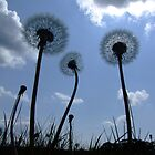 Dandelions by Samantha Higgs