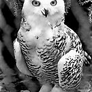 Snow Owl Baby by Ned Elliott