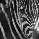 Zebra by starbucksgirl26