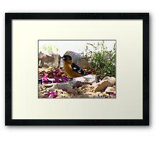 Black-headed Grosbeak ~ Male (breeding) Framed Print