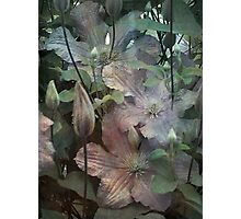 Clematis foliage Photographic Print