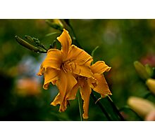 "Daylily ""Jersey Spider"" Photographic Print"