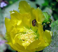 Prickly Pear Cactus Flower by Sandra Moore
