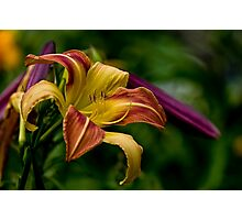 "Daylily ""Coburg Fright Wig"" Photographic Print"