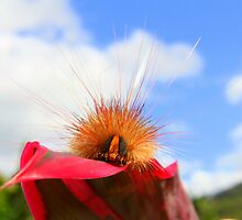 Another hairy caterpillar by robmac