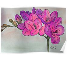 Hot Pink Freesia Poster