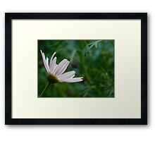 Pink Daisy in Bloom Framed Print