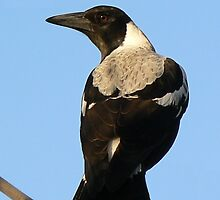 magpie by beekeeper