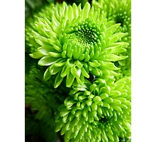 Green Chrysanthemums Photographic Print