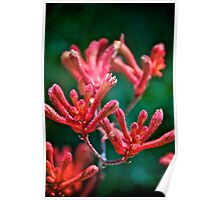 Blood Red Kangaroo Paw Poster
