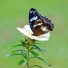 Hypolimnas bolina - common eggfly butterfly by Jenny Dean
