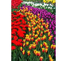 Tulips Galore Photographic Print
