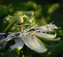 Passion Fruit Flower by Edyta Magdalena Pelc