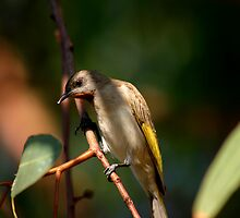 Rufous- Throated No 1 by Hedoff