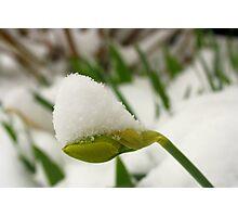 Spring Snow on Daffodil Bud Photographic Print