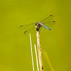 Dragonfly by Caren