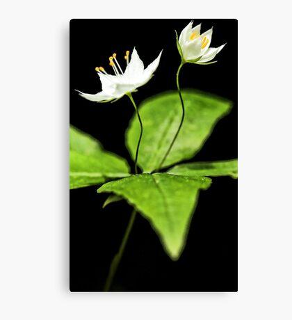 -Starflower at Sunset Canvas Print