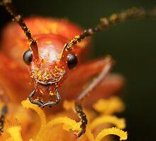 Rhagonycha fulva (Common red soldier beetle) by DavidKennard