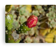 Flowering Cactus  Canvas Print