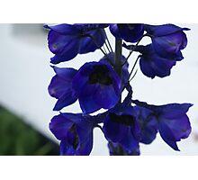 deep blue Delphinium  Photographic Print