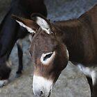 Donkey by AlexKokas