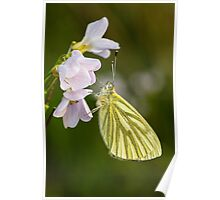 Green Veined White Butterfly on Cuckoo Flower Poster