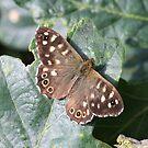 Speckled Wood Butterfly by John Keates