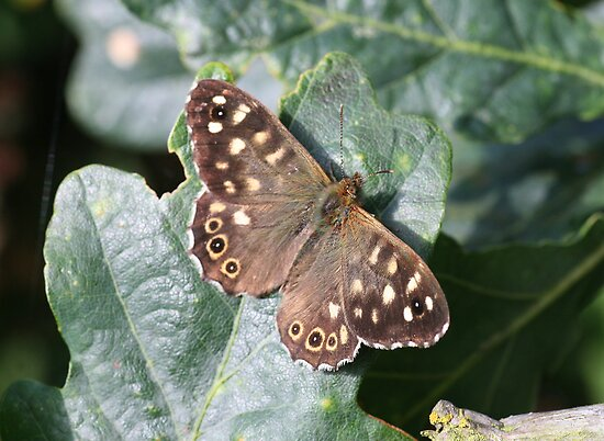 Speckled Wood Butterfly by John Keates