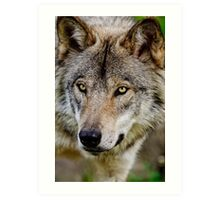 Timberwolf Portrait  Art Print