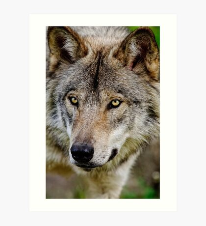 Timberwolf Portrait  Art Print
