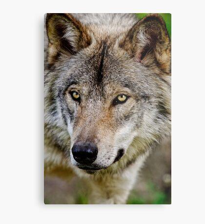 Timberwolf Portrait  Metal Print