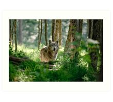 Timberwolf in Forest Art Print