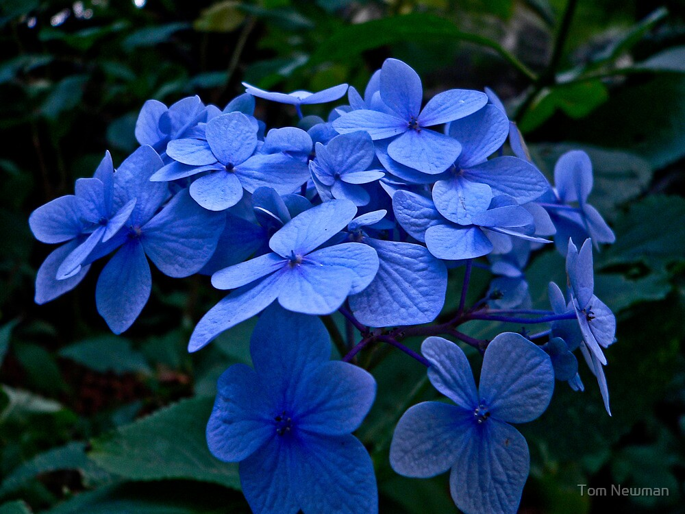 Blue Hydrangea by Tom Newman