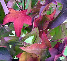 Autumn Leaves - Acer Palmatum by Adrian S. Lock