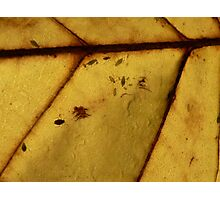Autumn Leaves - Aphid family on Tulip Tree Photographic Print