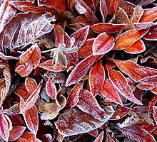 Frosted Leaves by Adrian S. Lock