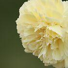 Cream Carnation by reflector