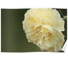 Cream Carnation Poster