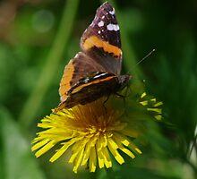 Butterfly......  by DonalMW