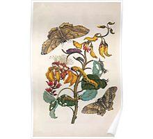 Metamorphosis insectorum surinamensium Maria Sibylla Merian 1705 0042 Insects of Surinam_jpg Poster