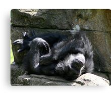 chimp napping Canvas Print
