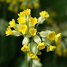 Cowslip - Primula veris by Moonlake
