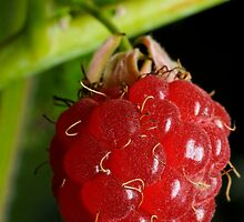 Close up of the forest raspberry by igorsin