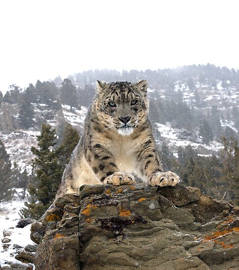 Snow Leopard by mrshutterbug