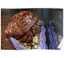 Hermit Crab And Reflection In Glass Poster