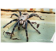 HORNED BABOON SPIDER - Ceratogyrus brachycephalus Poster