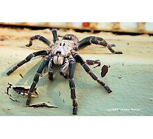 HORNED BABOON SPIDER - Ceratogyrus brachycephalus Photographic Print